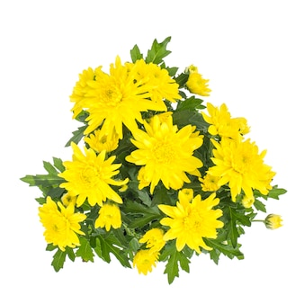 白い背景の上の鍋に新鮮な黄色の菊の花束。
