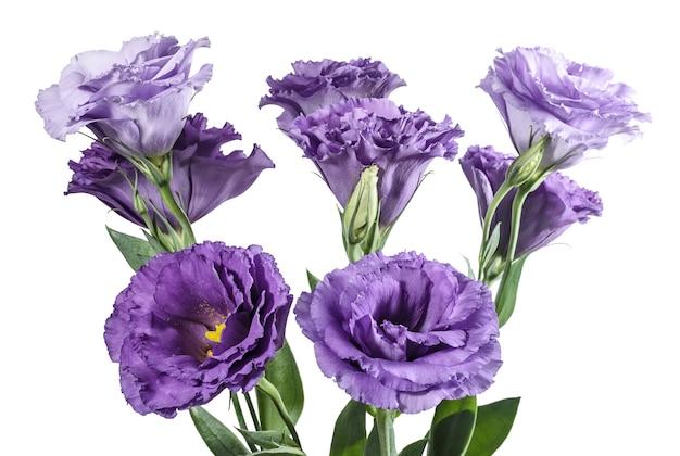 白い背景の上の薄紫色のトルコギキョウの花の花束