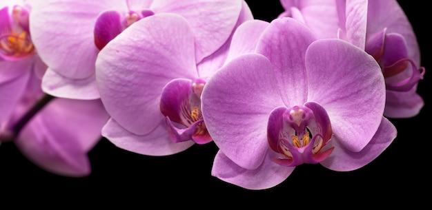 마젠타 난초의 꽃다발은 검정에 격리됩니다