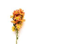 Bouquet of orange daisies