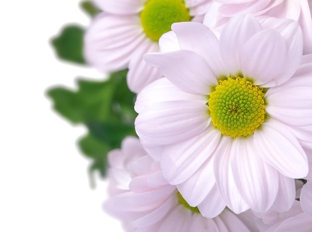 핑크 국화 꽃다발. 흰색 절연