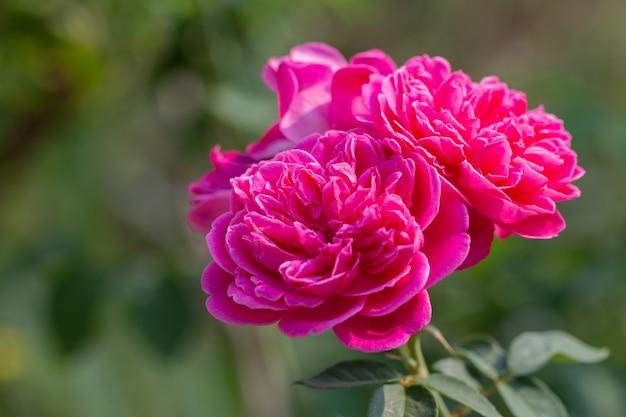 緑の自然の背景にピンクのバラの花束
