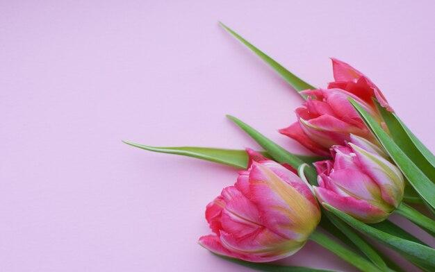 Букет из розовых весенних тюльпанов на розовой стене. плоский вид сверху.