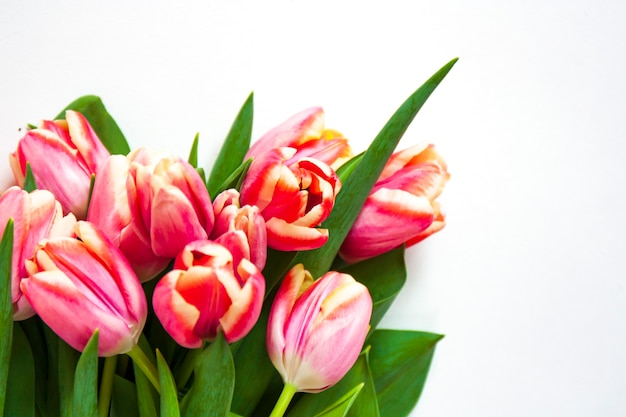 Букет из розовых тюльпанов с легкой каймой на белом фоне. весенние цветы.