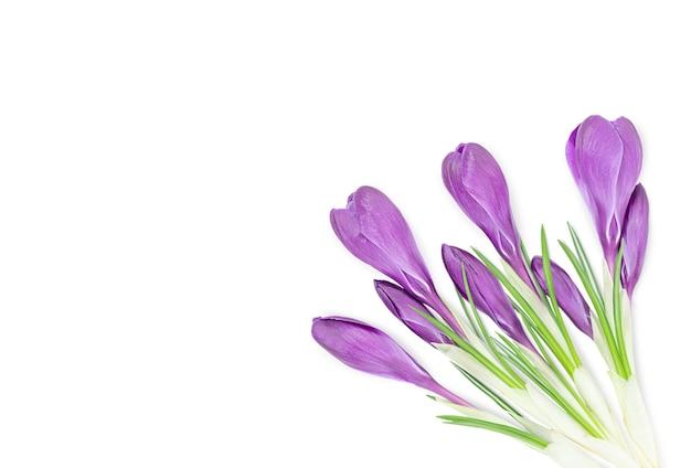 白い背景で隔離のページのコーナーに紫色のクロッカスの花の花束