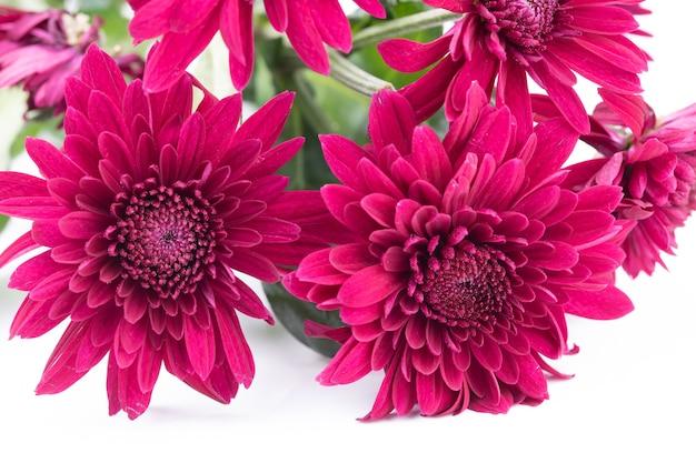 Букет из красных цветов хризантемы на белом фоне