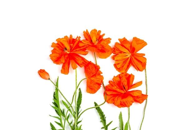 白い背景で隔離の赤いケシの花の花束