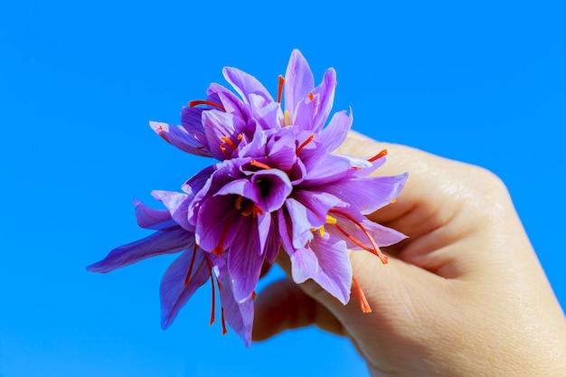 사프란 꽃의 꽃다발입니다. 하늘 배경에 여자 손에 보라색 크 로커 스의 꽃다발.