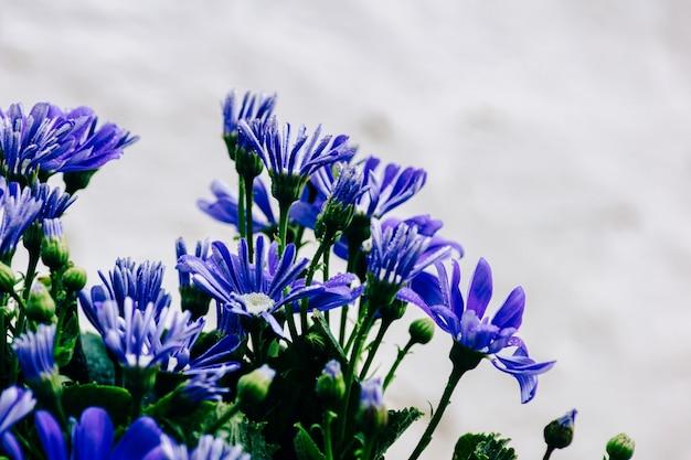 작은 파란색 cineraria 꽃과 흰색 간판 질감 벽의 녹색 잎의 꽃다발