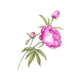 水彩のピンクの牡丹の花束。