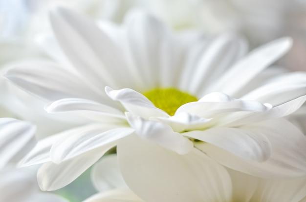 흰 국화 클로즈업의 꽃다발입니다. 국화의 흰색 꽃잎. 원예.