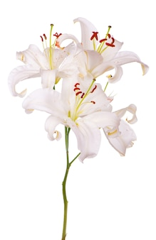Букет из белых лилий, изолированные на белой поверхности