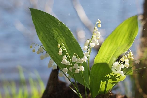 호수 배경 계곡의 흰 백합 꽃다발.