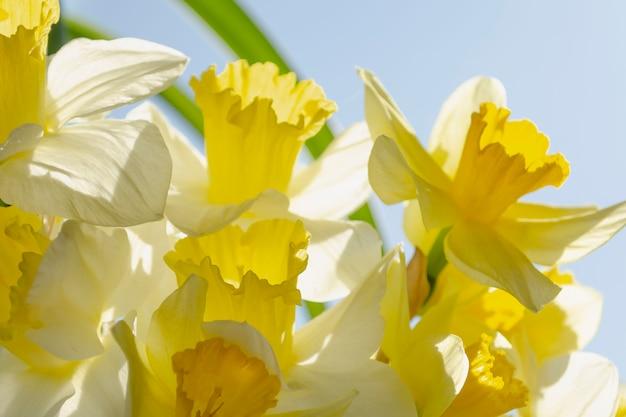 明るいバックライトの黄色と白の春の水仙の花束