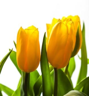 흰색 배경에 햇빛이 비치는 노란 튤립 꽃다발