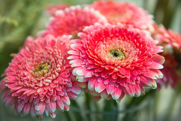 Bouquet of pink chrysanthemums, close up, selective focus.