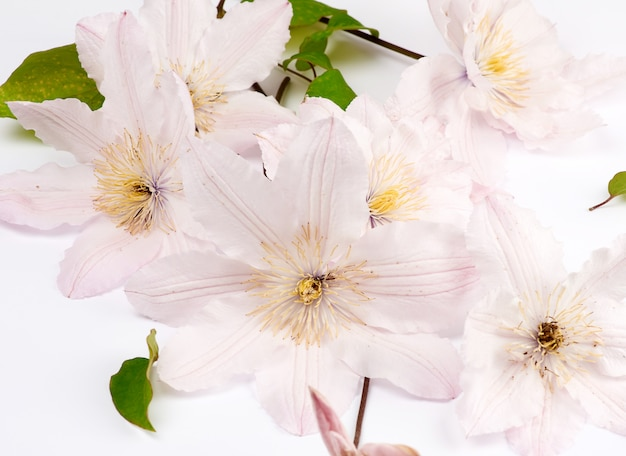 Bouquet of pink clematis flowers on white