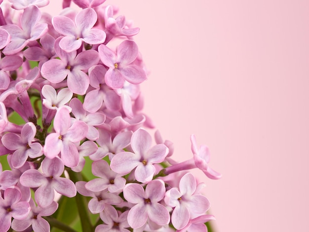 Bouquet of pink lilac on a pink space, macro, copy space