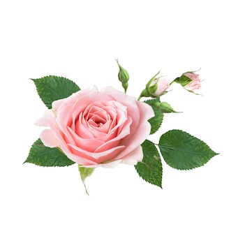 Bouquet of pink rose flowers isolated on white wall. design floral arrangements