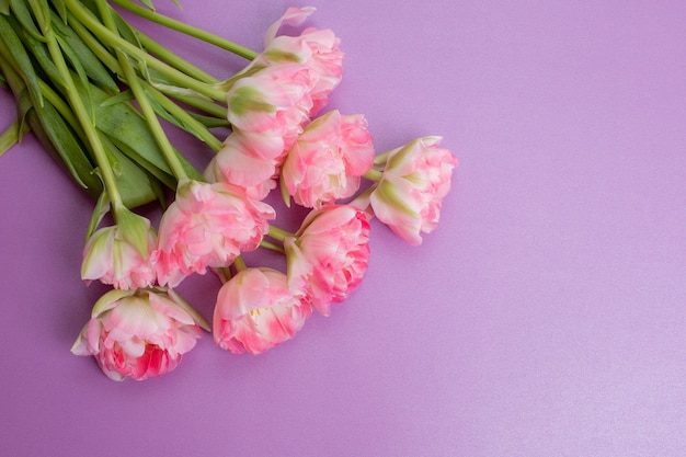 Bouquet of pink tulips on a purple background