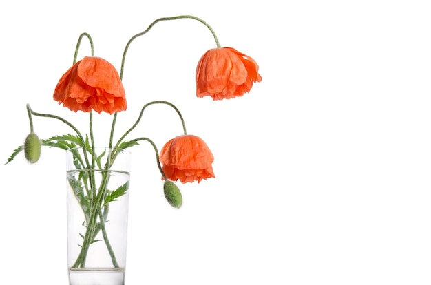 Bouquet of poppies in glass vase on white surface