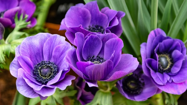 Bouquet of purple anemone flowers on green leaves