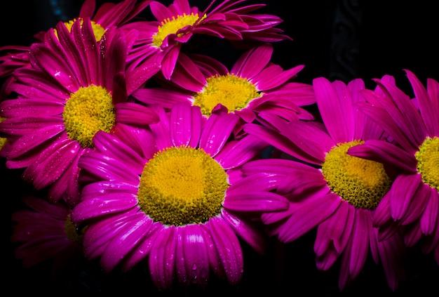 Bouquet of purple daisies on a dark background