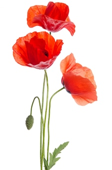 Bouquet of red poppies isolated on white .