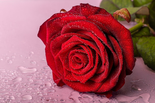 A bouquet of roses for the holiday. women's day, valentine's day, name day. on a pink background with reflection. copy space
