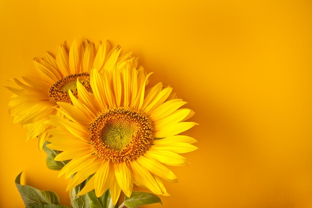 Bouquet of sunflowers on yellow wall