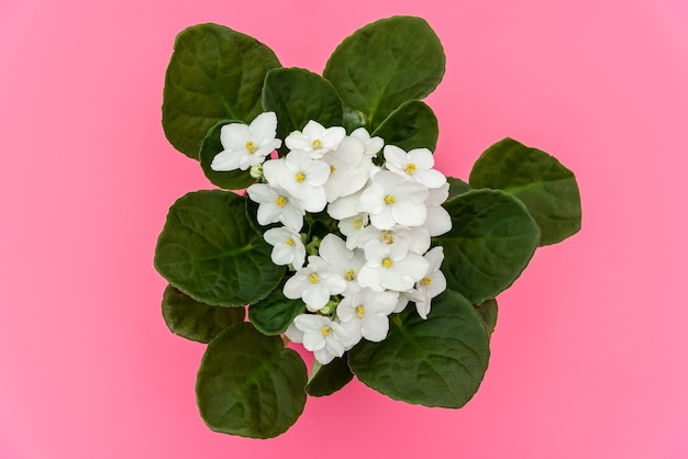 Bouquet of white african violets on pink surface