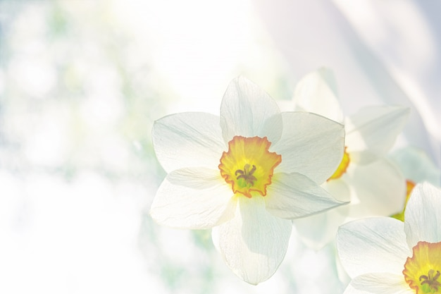 A bouquet of white flowers of white daffodils close-up stands on the window