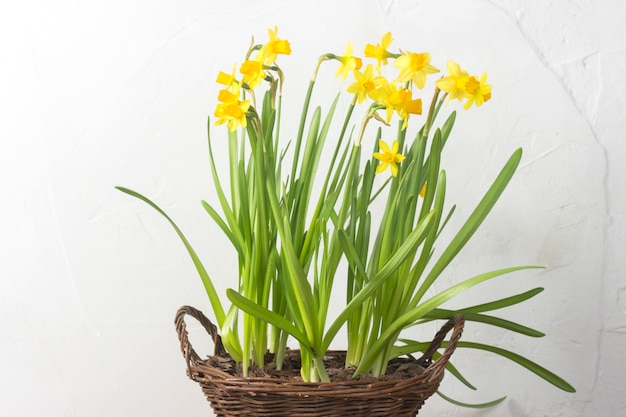 Bouquet of yellow daffodils on a background of white stone wall. concept of the holiday and the beginning of spring.