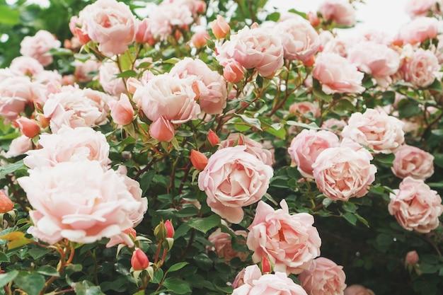 Букеты с букетами розовых роз в качестве фона. выборочный фокус