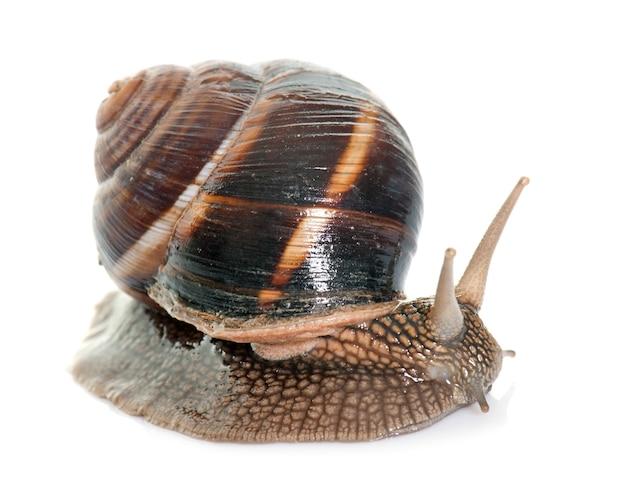 Bourgogne snail in studio