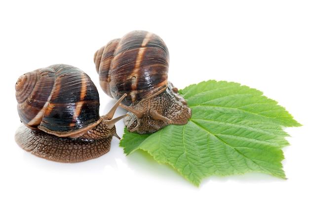 Bourgogne snails in studio