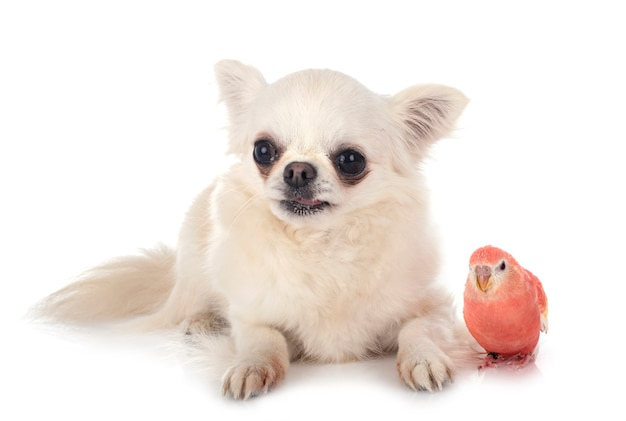 Bourke parrot and chihuahua in front of white background
