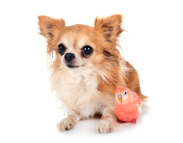 Bourke parrot and chihuahua in front of white isolated