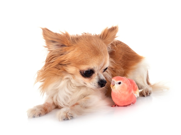 Bourke parrot and chihuahua
