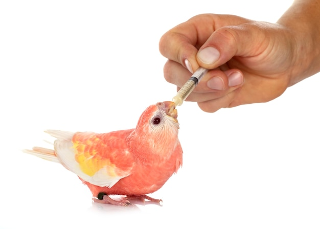 Bourke parrot in front of white isolated