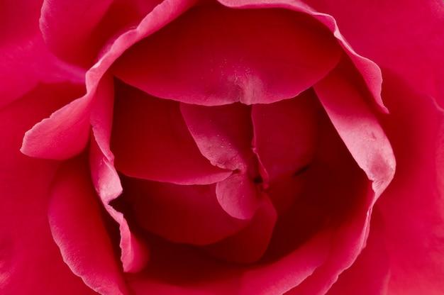빨간 장미의 Bouton 클로즈업 프리미엄 사진