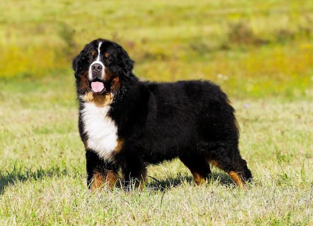 Bouvier bernese mountain dog portrait