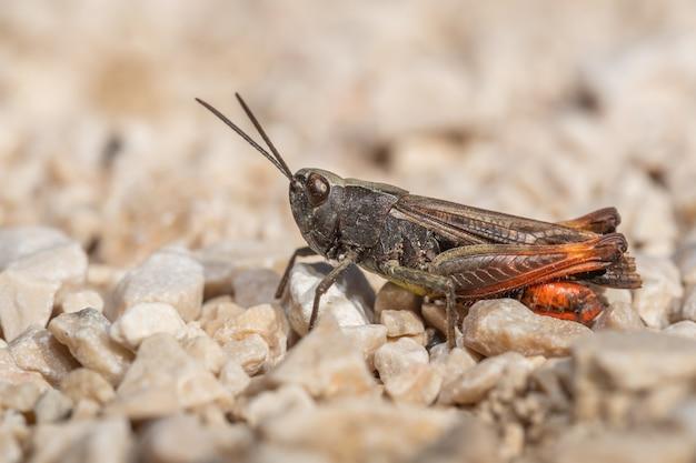 地面に座っている弓翼のバッタ(chorthippusbiguttulus)