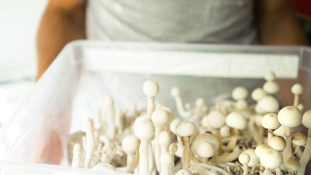 실로시빈 버섯이 있는 상자, 다양한 실로시베 쿠벤시스 라스타 흰색이 한 남자의 손에 있습니다. 재배, 조건 생성. microdosing, 환각 여행, 레크리에이션 및 의식 변화