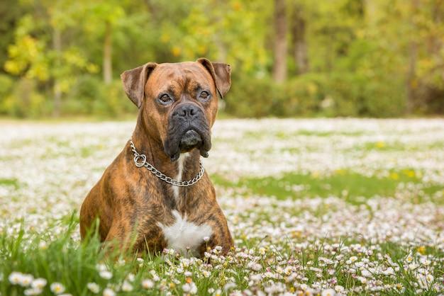 Собака боксера лежа в парке на поле маргариток.