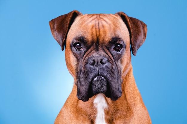 Собака боксера на голубой стене.
