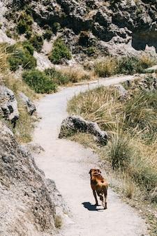 Boxer dog walking in the mountain. cahorros, granada, spain