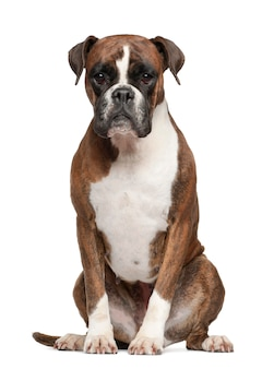 Boxer sit, isolated on white