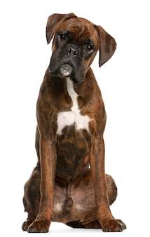Boxer sitting. dog portrait isolated