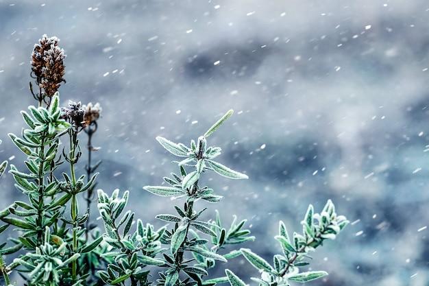 눈, 겨울 배경 동안 잎 회양목 지점